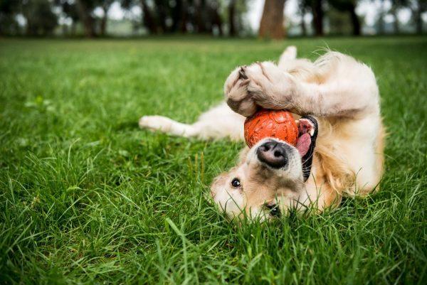 Intolérances alimentaire du chien : causes et traitements